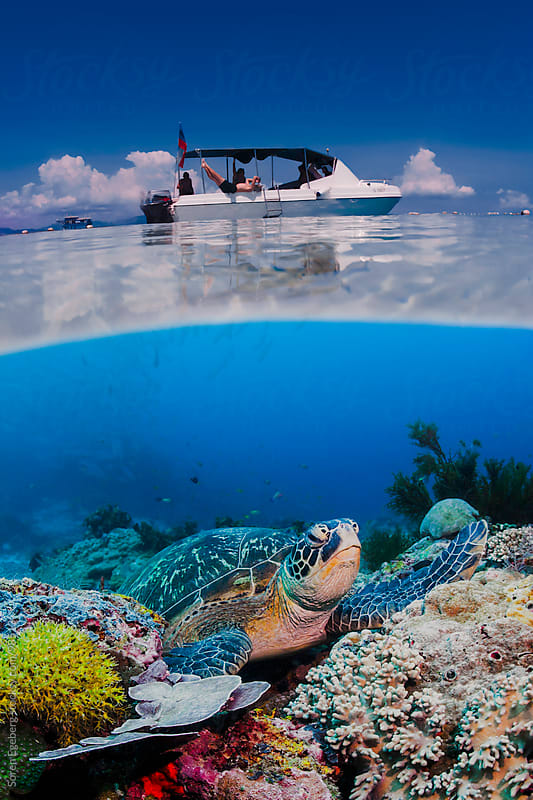 Green sea turtle sitting on coral reef in blue water under scuba diving boat on ocean surface by Soren Egeberg for Stocksy United