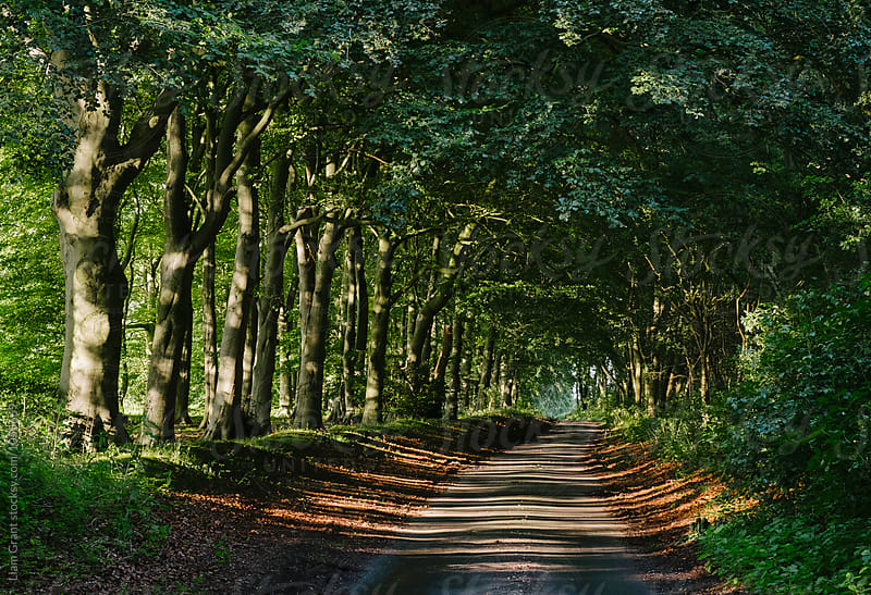 Row of Beech trees lining a remote country road at sunset. Norfolk, UK. by Liam Grant for Stocksy United