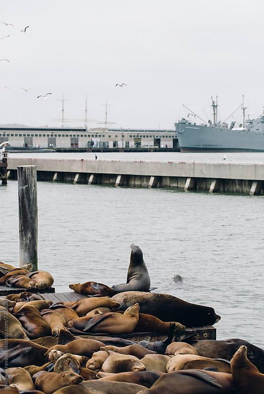 Sea lions in San Francisco Bay by michela ravasio for Stocksy United