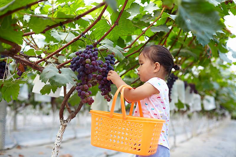 Little girl picking grape in the farm by Bo Bo for Stocksy United