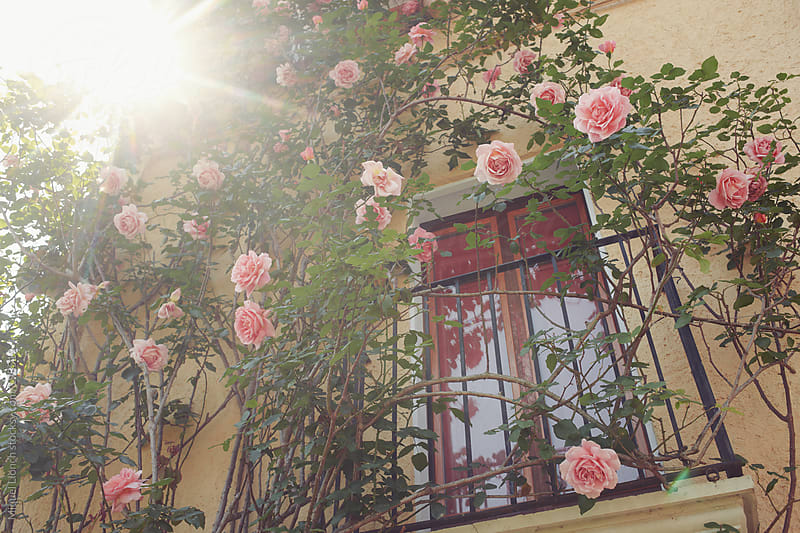 House wall and balcony with blooming pink roses by Miquel Llonch for Stocksy United
