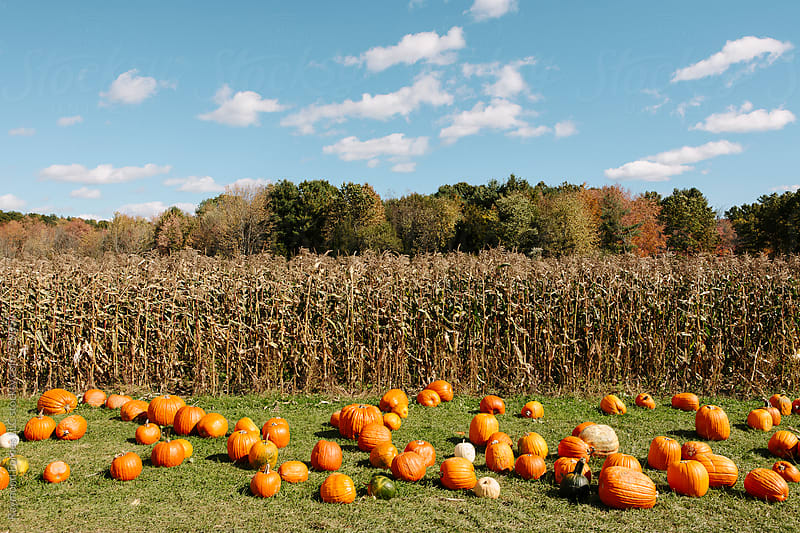 Pumpkins at Farm in Massachusetts by Raymond Forbes LLC for Stocksy United