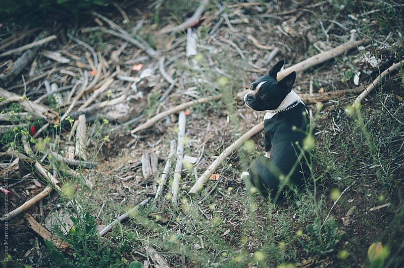 Boston Terrier Dog sitting with a bunch of Sticks in the Woods by Briana Morrison for Stocksy United