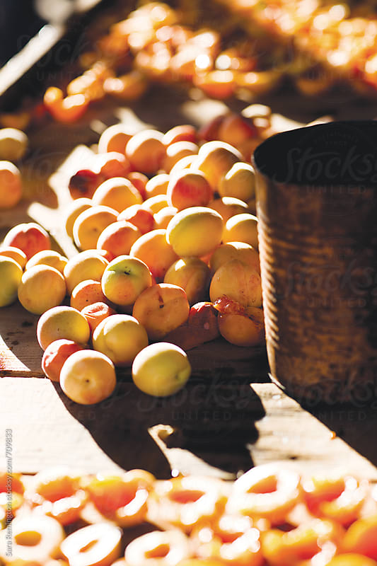 Organic Apricots In Crate on Farm by Sara Remington for Stocksy United