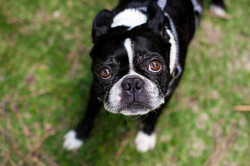 Boston Terrier looking at camera by J Danielle Wehunt for Stocksy United