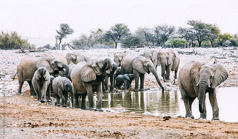 Herd of African Elephants at a water hole by Micky Wiswedel for Stocksy United