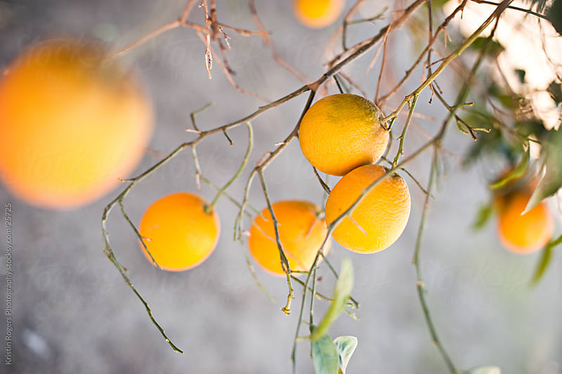 Orange tree in and out of focus by Kristin Rogers Photography for Stocksy United