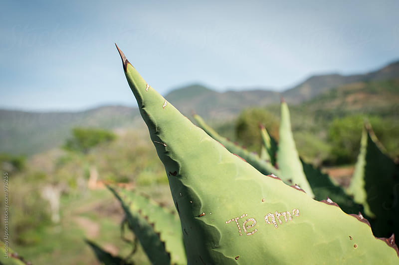 Te Amo Agave by Lindsay Upson for Stocksy United