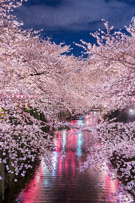 Japanese cherry blossoms at night over river by yuko hirao for Stocksy United