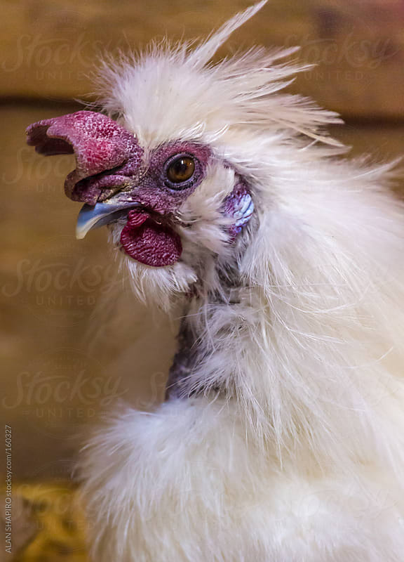 chicken having a bad hair day by ALAN SHAPIRO for Stocksy United