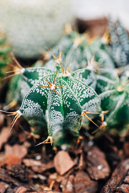 Cactus plants by Giada Canu for Stocksy United