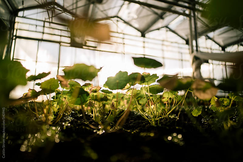 young nasturtiums in a greenhouse by Caitlin Strom for Stocksy United