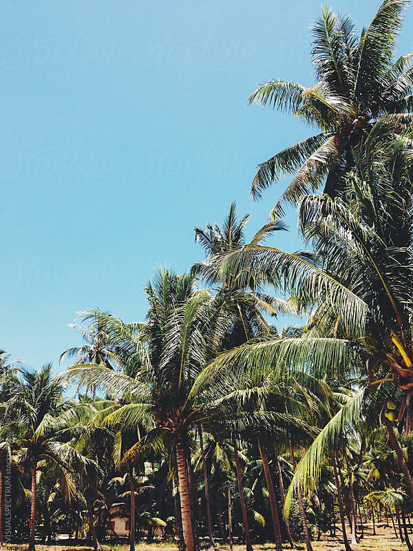 Blue Sky and Palm Trees by VISUALSPECTRUM for Stocksy United