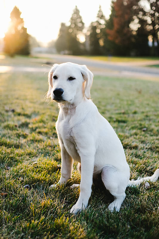 White puppy sitting in the grass as the sun rises  by Kristine Weilert for Stocksy United