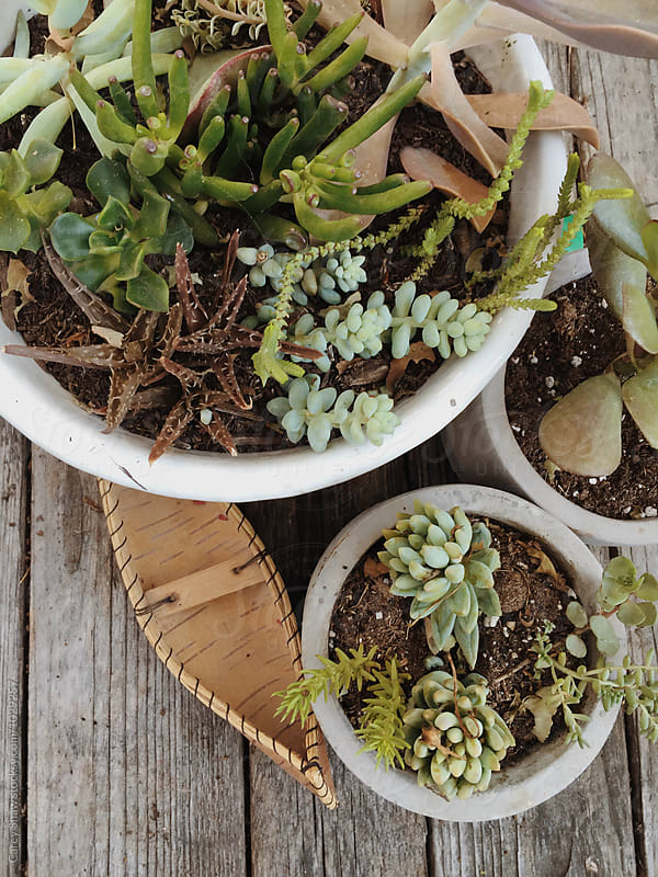 Tiny handmade birch bark canoe and potted succulents by Carey Shaw for Stocksy United