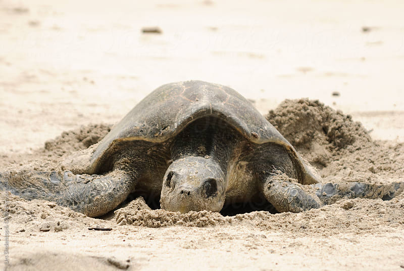 Sea Turtle digging hole for egg deposition on the pacific coast of Costa by Urs Siedentop & Co for Stocksy United