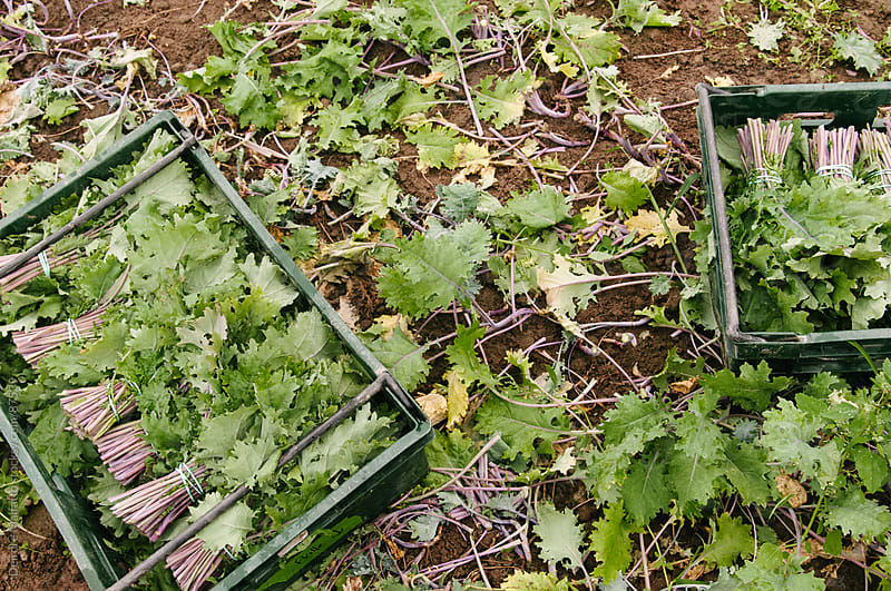 freshly harvested kale in crates in a field by Deirdre Malfatto for Stocksy United