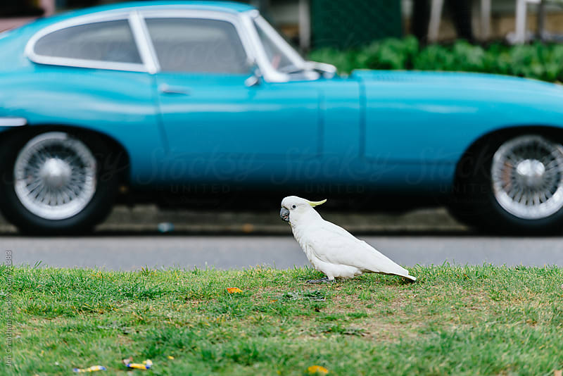 Cockatoo in front of vintage car. by Jen Grantham for Stocksy United