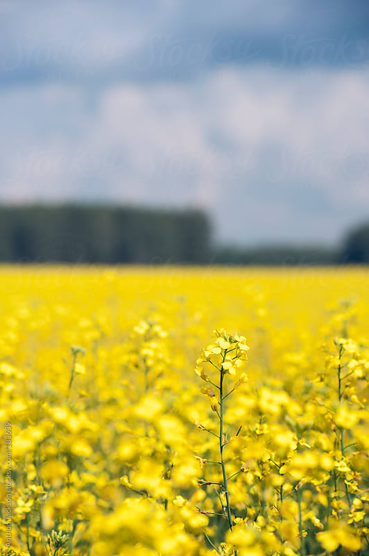 Rapeseed field by Anthon Jackson for Stocksy United