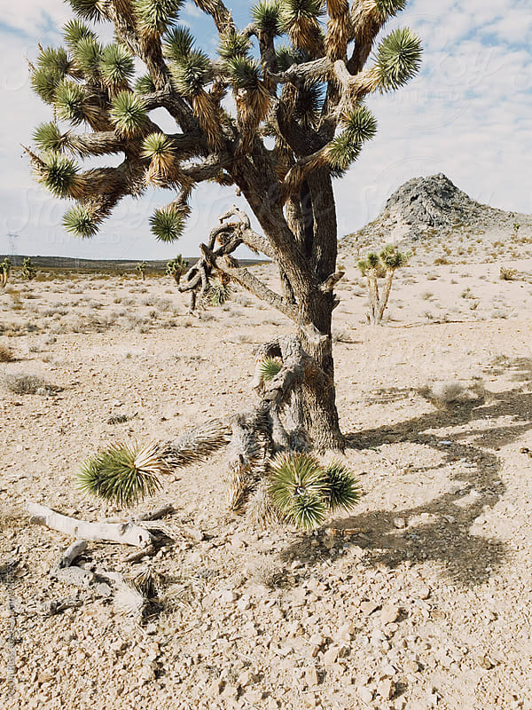 Joshua Tree in the Desert by Kevin Russ for Stocksy United