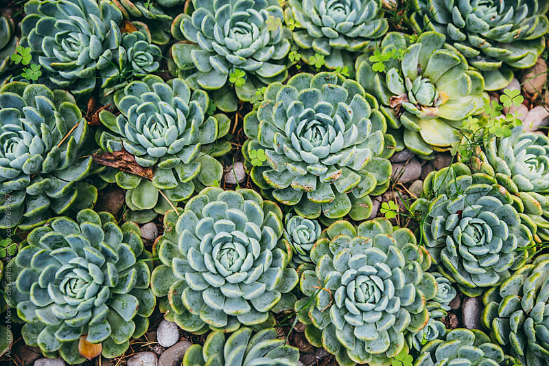 Top view of a lot of succulent cactus plants  by Alejandro Moreno de Carlos for Stocksy United