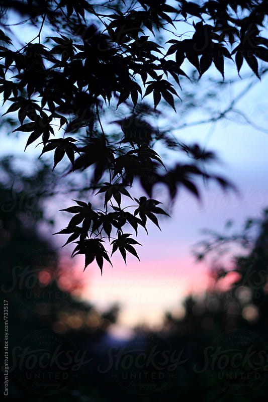 Silhouette of a Japanese Maple against a pink and purple sunset by Carolyn Lagattuta for Stocksy United