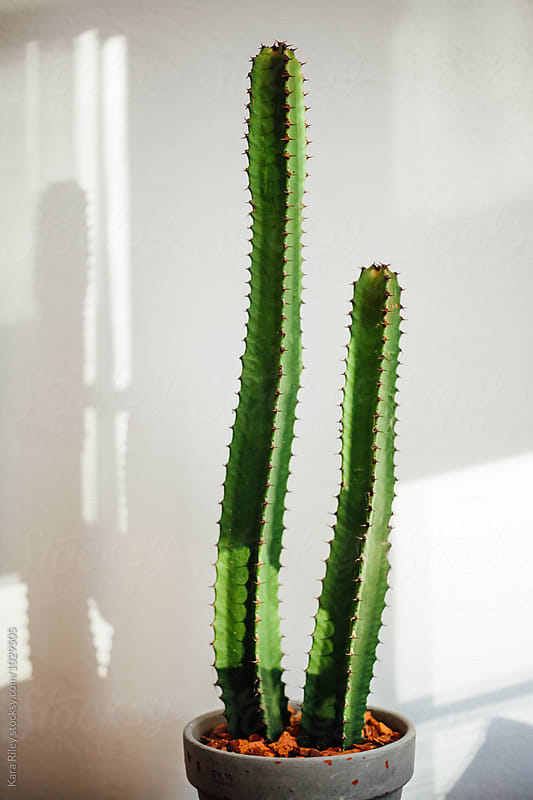 Cactus casting shadows by Kara Riley for Stocksy United