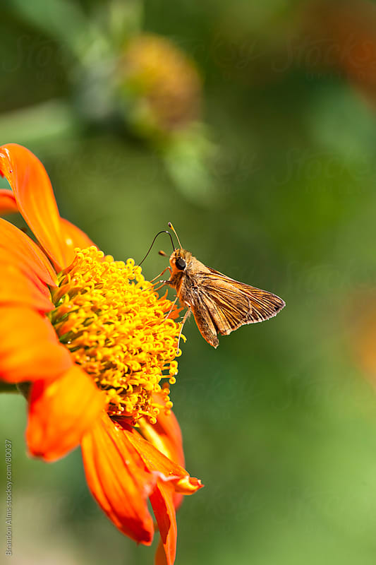 Skipper Butterfly on an Orange Flower by Brandon Alms for Stocksy United