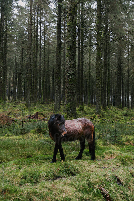 Wild Dartmoor Pony by Agencia for Stocksy United