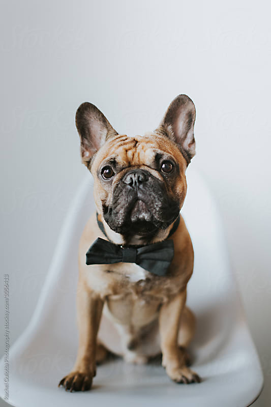 Dapper French Bulldog Puppy in a Bowtie by Rachel Gulotta Photography for Stocksy United