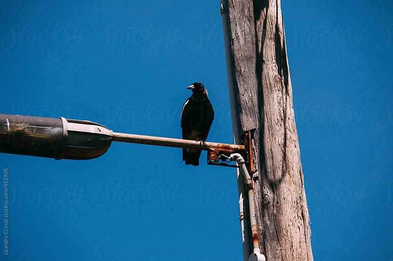 Black bird standing on a lighting pole by Leandro Crespi for Stocksy United