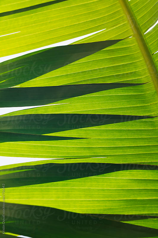 Shadows on palm leaf by Kristin Duvall for Stocksy United
