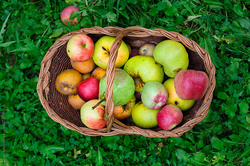 A basket full of just picked apples by Laura Adani for Stocksy United