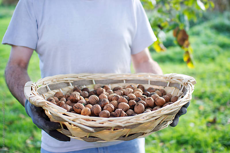 Walnut harvest by Harald Walker for Stocksy United