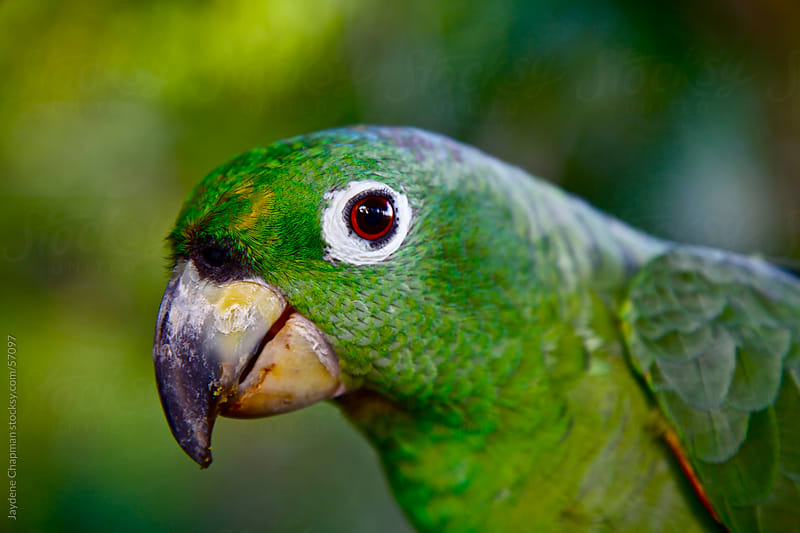 Close up of a bright green parrot in the jungle, Banos, Ecuador by Jaydene Chapman for Stocksy United