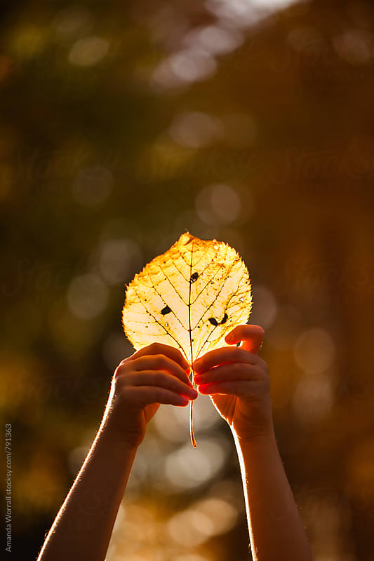 A close up of a child's hands holding a fall leaf that is illuminated by the sunlight by Amanda Worrall for Stocksy United