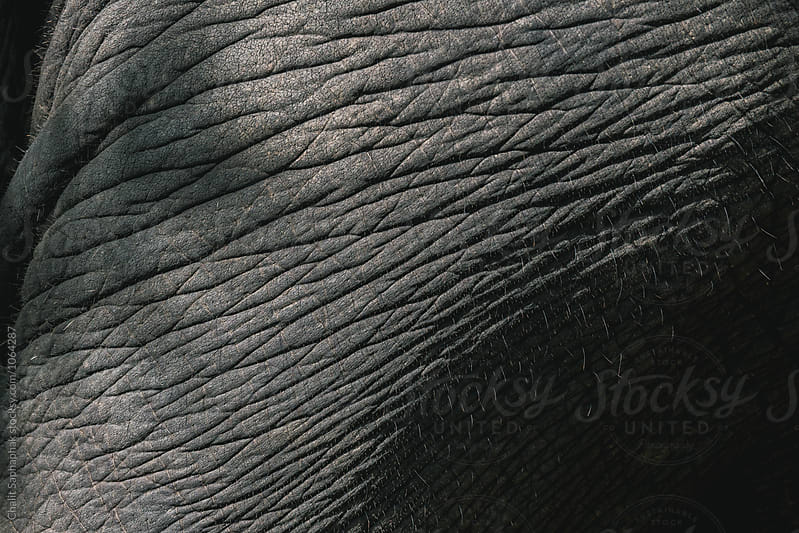 Thai Elephant by Chalit Saphaphak for Stocksy United