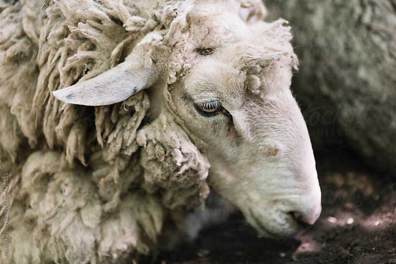 sheep in closeup . by Alexey Kuzma for Stocksy United