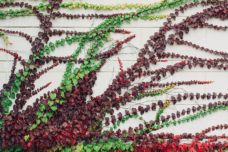 Creeping Ivy with fall colors by Gabriel (Gabi) Bucataru for Stocksy United