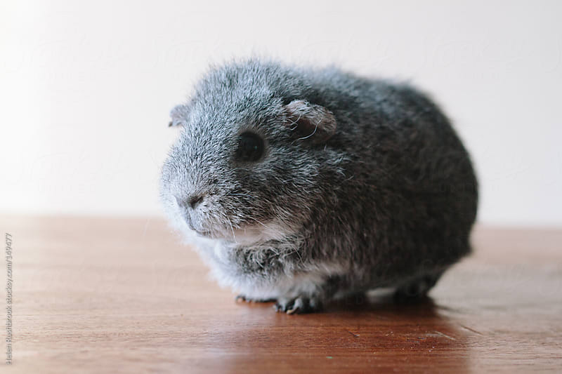 A grey guinea pig by Helen Rushbrook for Stocksy United