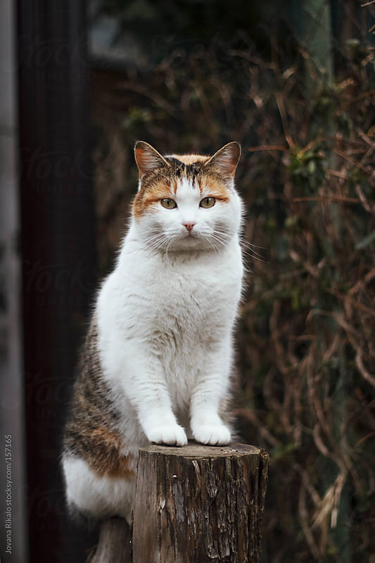 Cat standing on a stump and looking at camera by Jovana Rikalo for Stocksy United
