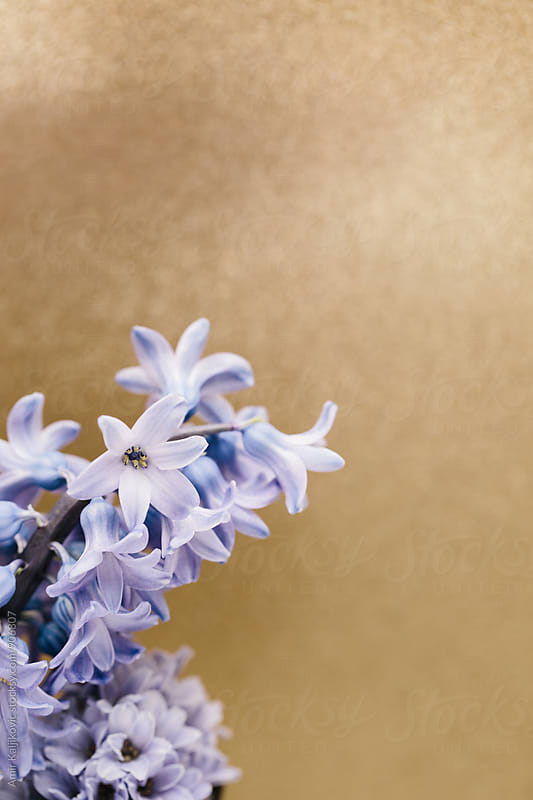 Branch of beautiful lilac against of beige background by Amir Kaljikovic for Stocksy United