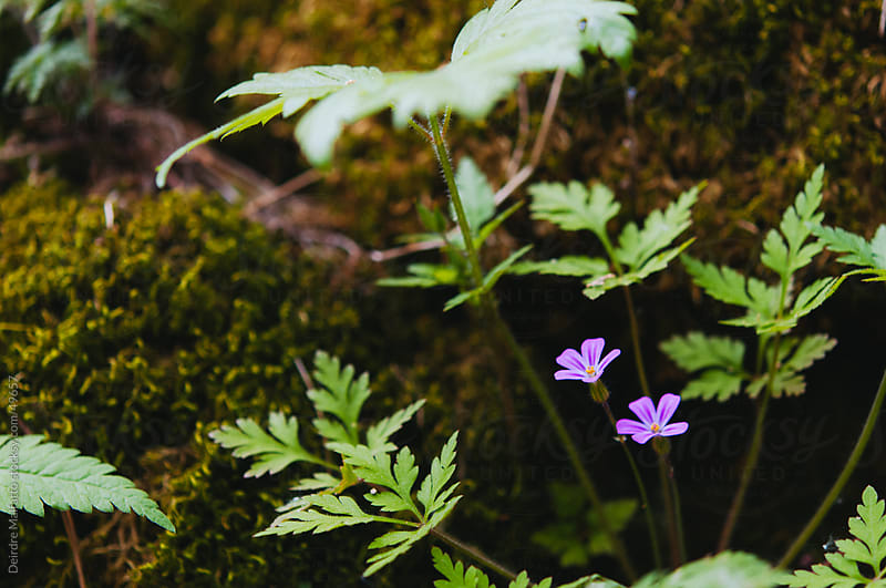 Wild purple phlox flowers in the forest by Deirdre Malfatto for Stocksy United
