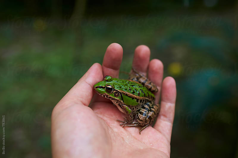 green frog in hand by Bo Bo for Stocksy United