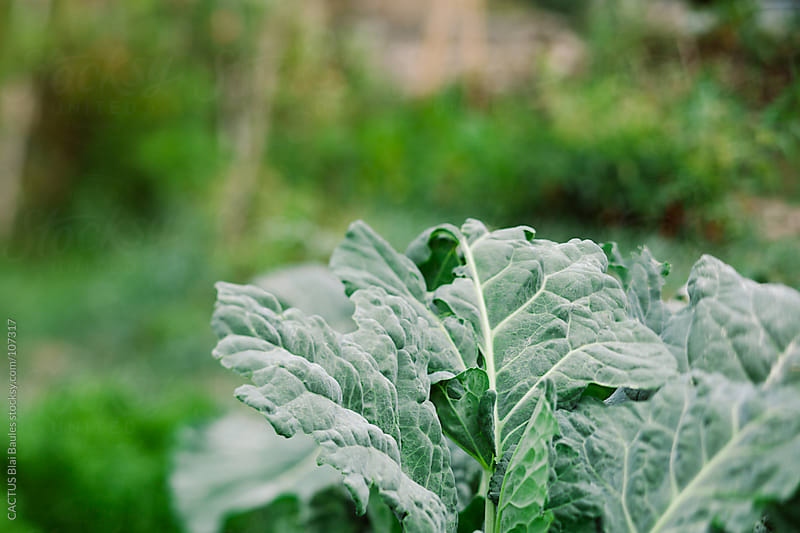 Broccoli leafs in a garden by CACTUS Blai Baules for Stocksy United