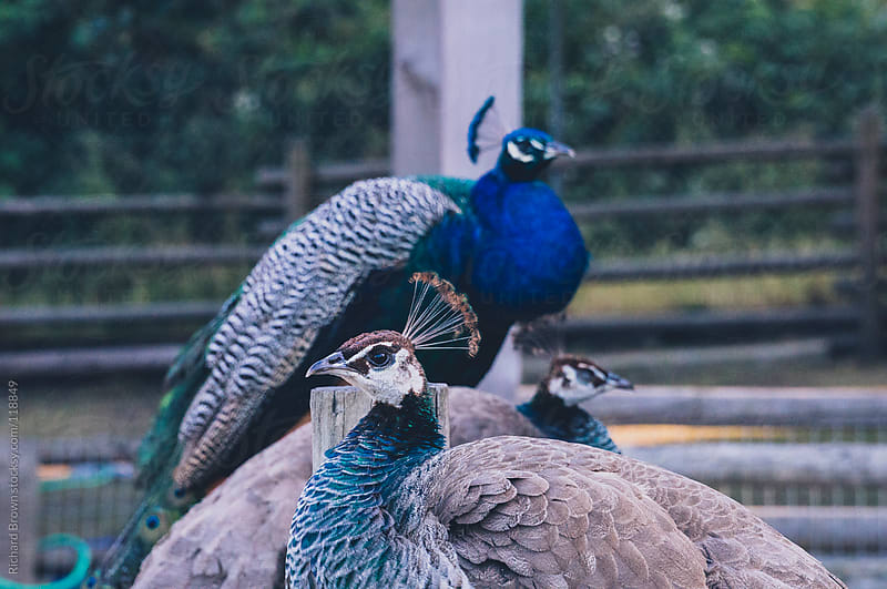 Two peahens and a peacock sitting on a fence by Richard Brown for Stocksy United