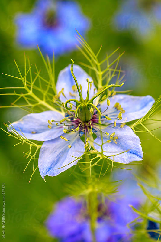 Love in a mist by alan shapiro for Stocksy United