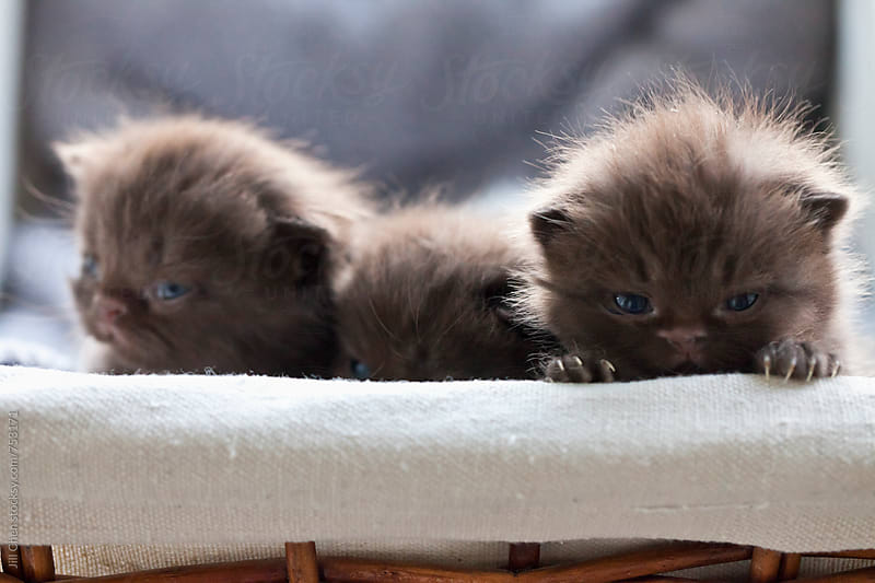 Basket of Chocolate Brown Kittens by Jill Chen for Stocksy United