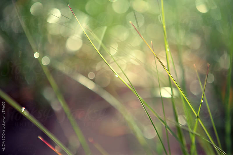 Dew Drops On Beach Grass by ALICIA BOCK for Stocksy United
