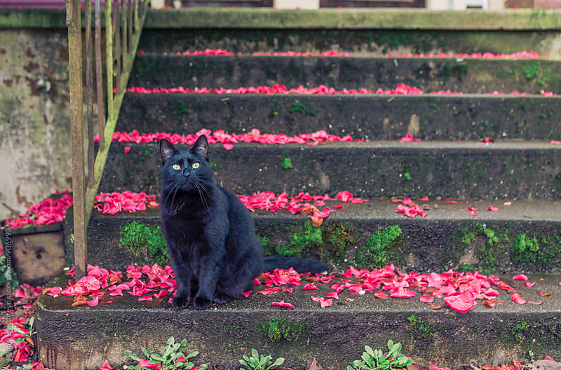 Black cat staring straight ahead while sitting on a concrete staircase covered in flower petals by Mihael Blikshteyn for Stocksy United